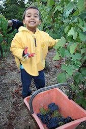 Notre petit vendangeur. Our little grape picker