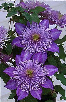 Фиолетовый Клематис.