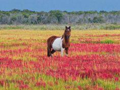 Assateague's Wild Horses Cross Chincoteague Channel In Annual ...