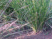 Vetiveria zizanioides0.jpg