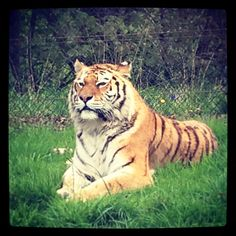 April 2015. Thank you for sharing your picture with us, Michelle Bliss! You've definitely captured the tiger's magnificence.