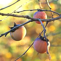 Used by American Indians, African Americans & early European settlers, wild Persimmons are a distinctively American fruit. American Indians mixed Persimmon pulp, corn meal, & ground acorns to make breads and thick soups. Early settlers valued the wild Persimmon because its fruits are easily available & literally fall into your hands if you shake a ripe tree. They used the seeds of the fruits to roast & make a beverage similar to coffee. In Appalachia the dried seeds were brewed to make beer.