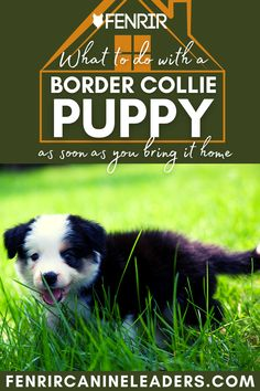 Collecting your Border Collie puppy but not sure what to do when you get it home? Check out our lastest upload looking at the top things to do as soon as your puppy gets home! More awesome dog information at Fenrir Canine Show and Fenrir Canine Leaders. Best Dog Breeds, Best Dogs, Dog Information, Border Collie Puppies, The Perfect Dog, Medium Sized Dogs, Family Kids, Dog Care, Training Tips