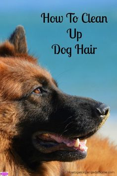 How to clean up dog hair can be an on-going chore that never seems to end, but there are ways in which you can control this hair around your home.