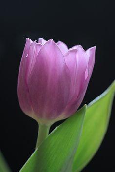 Gorgeous Purple Tulip