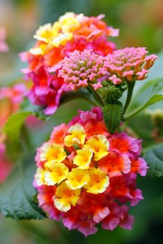 Lantana ~ I love it...just water once in awhile and it grows like crazy !