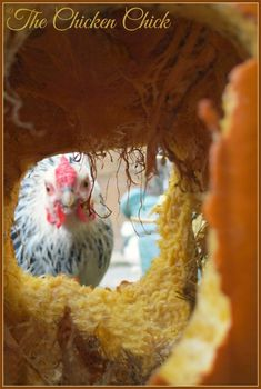 A single pumpkin can provide hours of entertainment for a flock of chickens. Dust Bath For Chickens, Raising Backyard Chickens, Backyard Chicken Coops, Baby Chickens, Chicken Coop Plans, Building A Chicken Coop, Diy Chicken Coop, Chickens Winter, Keeping Chickens