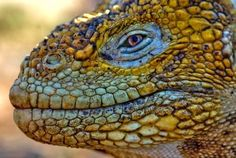 A male Iguana in full color. Galapagos Islands