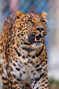 Pädi with open mouth (by Tambako the Jaguar) Jaguar, Large Animals, Cute Animals, Big Cat Species, Wild Animal Wallpaper, Big Cat Tattoo, Save Wildlife, Wild Tiger, Lovely Creatures