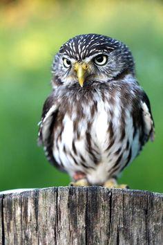 """My"" Pygmy Owl by UgleRiget"