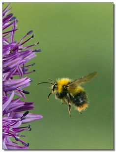 According to the laws of physics a bumblebee should not be able to fly. But the bumble doesn't know that, do he goes on flying anyway!