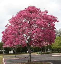 Tabebuia palmeri - Pink Trumpet Tree Exotic with non-invasive roots. Grows to 8 metres high x 3 metres wide. Showy flowering deciduous tree, with masses of pink flowers in late winter. An ideal specimen tree. Deciduous Trees, Trees And Shrubs, Trees To Plant, Pink Flowering Trees, Trees With Pink Flowers, Flowering Plants, Tropical Nursery, Street Trees, Easy Care Plants
