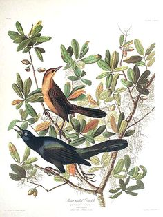 Boat-tailed Grackle. From The Birds of America Amsterdam Edition by John James AUDUBON on Audubon Galleries