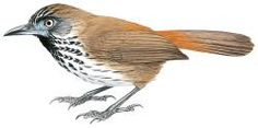 Chestnut-rumped Babbler (Stachyris maculata)