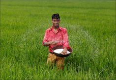 'Slow release fertiliser can revolutionise agriculture'  #Agriculture #fertiliser #ACSNano #NanoTechnology