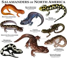 Fine art illustration of various species of salamander native to North America . Reptiles Et Amphibiens, Mammals, Animals Of The World, Animals And Pets, National Geographic, Malamute, Poster Print, Art Print, Art And Illustration