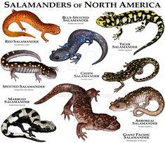 Salamanders of North America by rogerdhall