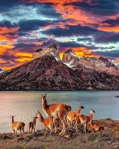 The Guanacos make this view of Los Cuernos even more beautiful - Torres Del Paine, Chile. Parc National Torres Del Paine, Image Nature, In Patagonia, Argentine, Adventure Is Out There, Nature Pictures, Solo Travel, Beautiful Landscapes, Travel Tips