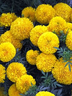 October's birth flower is the Marigold.