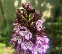 Az orchideára többnyire úgy gondolunk, hogy távoli tájak szépsége, amit a nemesítéseknek köszönhetően szobanövényként tarthatunk. Pedig hazánk dombvidékes tájain húsz fajta orchideával, azaz kosbor fajjal találkozhatunk. A bíboros kosbor (Orchis purpurea) vagy más néven... The post Bíboros kosbor, a csodálatos magyar orchidea appeared first on Balkonada.