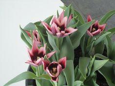 Tulipa 'Rajka'
