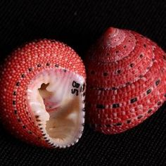 these shells remind me of strawberries. maybe nice for garnishing a summer brunch table?