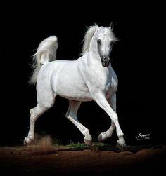 Dramatic Grey Arabian