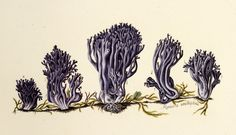 Clavulina amethystina. Image is under CC BY-NC-SA of Natural History Museum of Denmark (http://1url.cz/02GI).