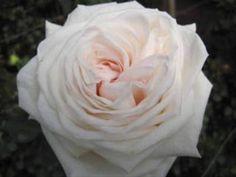 White O´Hara Garden Rose Roses Flowers by category | Sierra Flower