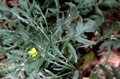 Wild rocket (Diplotaxis tenuifolia) NL: Grote zandkool / F: Roquette sauvage