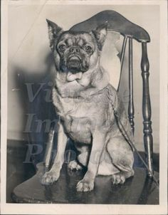 1950-Dion-Aroon-Dog-William-C-Bishop-Owner-Brussels-Griffon-Animal-Press-Photo