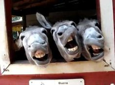 """Donkey""""s singing pitchers Top 10 funny animal videos Donkey Funny, Cute Donkey, Mini Donkey, Funny Cats, Funny Drunk, Hilarious, Happy Animals, Animals And Pets, Funny Animals"""
