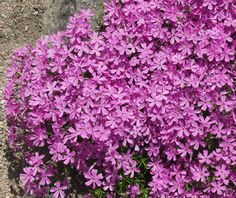 Phlox sub. Greenhouse Gardening, Olympus Digital Camera, Park, Plants, Gardens, Modern, Flowers, Trendy Tree, Parks