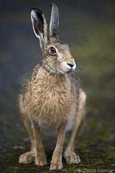 European Brown Hare - European brown hare portrait (Lepus europaeus)