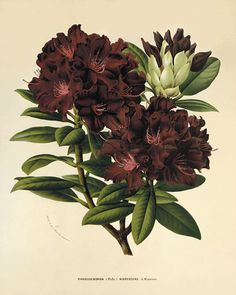 vintage botanical illustrations | Rhododendron antique Botanical Art Prints Victorian art old prints ...
