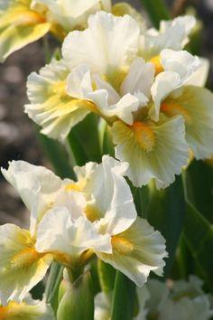 """Iris pumila """"Tingle"""""""
