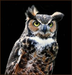 Great Horned Owl by dontaylor