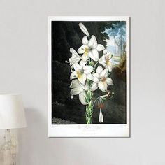 """East Urban Home Thornton's Temple of Flora Series 'The White Lily' Painting Print on Canvas Size: 60"""" H x 40"""" W x 1.5"""" D"""