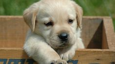 labrador, retriever, puppy