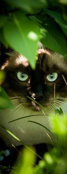 jungles, kitten, anim, siamese cats, cat eyes, black cats, green eyes, kitti, kitty