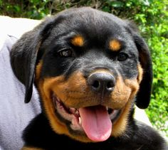 Rottweiler Puppies Come and see us for fun items for you and your dog. https://www.sunfrog.com/jcshirts/puppylife