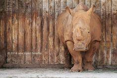 ¿Camuflaje? · Camouflage? Rinoceronte blanco en Cabárceno ( Obregón - Cantabria )