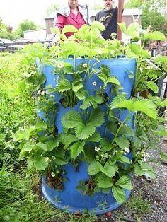 barrel garden Urban Gardening ideas Pinterest Gardens Urban
