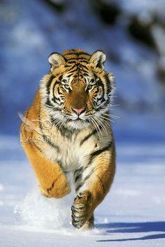 Siberian Tiger or Amur Tiger (Panthera tigris) running, Endangered Species. Tiger Images, Tiger Pictures, Panthera Tigris Altaica, Big Cat Diary, Tiger Paw, Tiger Cubs, Bear Cubs, Save The Tiger, Cat Species