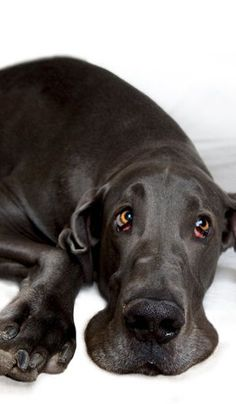 Cute #Great #Dane