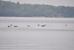 Loons like to meet up with their friends and hang out all day. | 9 Reasons The Loon Is The Best Bird