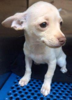 Dies june 19, 2017. rnAnimal IDt35406471 rnSpeciestDog rnBreedtChihuahua, Short Coat. Only 6 months old