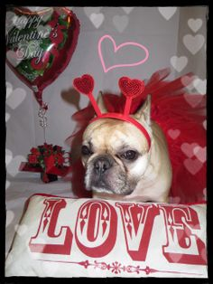 Roxy as the Love Bug for Valentine's Day.  French Bulldog.
