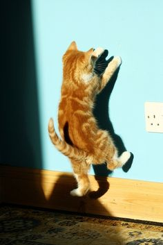 Shadow Boxing | kitten. Interesting that it's an orange cat. Of all my cats, only the orange one chases shadows!