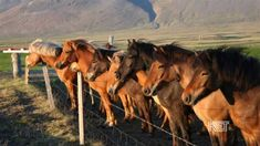 Icelandic Horses   Kentucky Life   KET .: Very informative interview about the Icelandic horse - enjoy :)